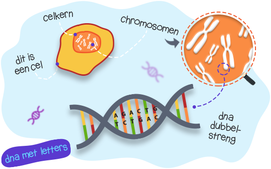 cel, chromosomen en DNA